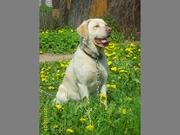 Лабрадор 2 лет,  золотистого цвета