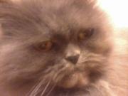 нужен персидский кот на вязку