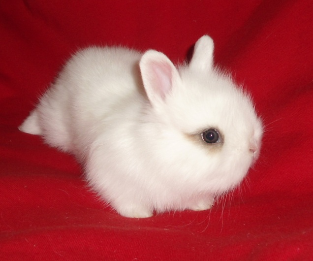 Квартирные карликовые кролики а так же вислоухие баранчики. От заводчи