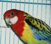 Продам пару попугаев породы пестрая розелла.